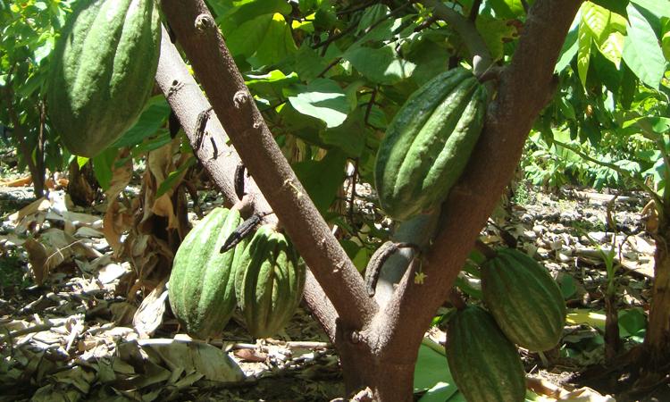 Planta-de-Caca