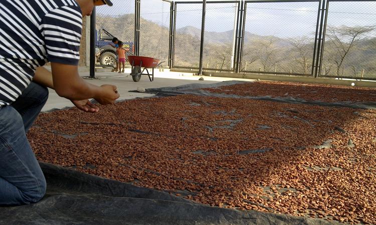 granos-de-cacao_secado
