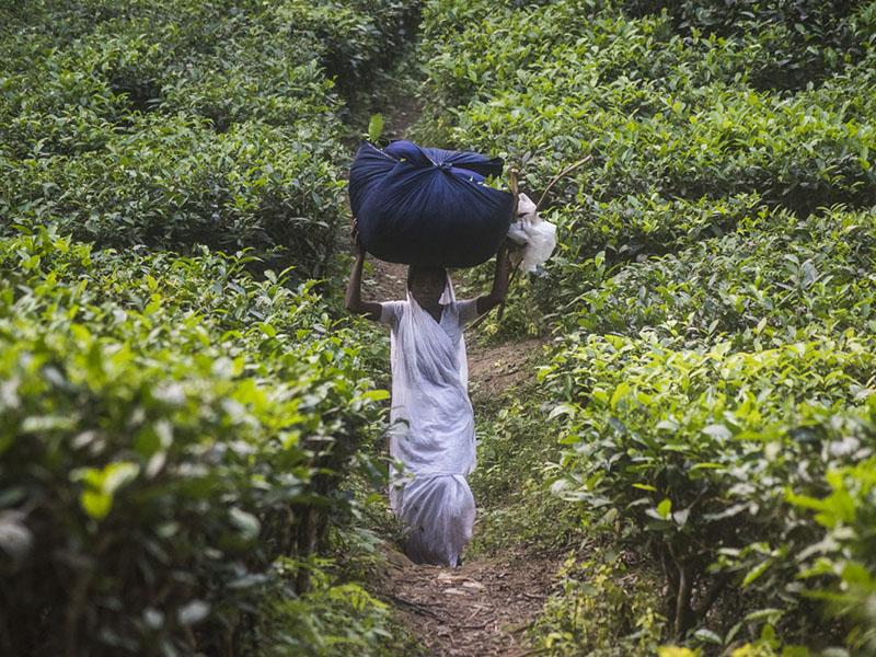 Foto Dos hojas por cada mata: subsistir en una plantación de té